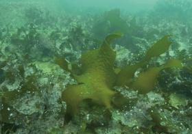 """<span class=""""fontBold"""">海藻であるカジメを移植。食害によって一部消失したものの、養生や生育、再生産を確認できた</span>(写真=国土交通省四国地方整備局提供)"""