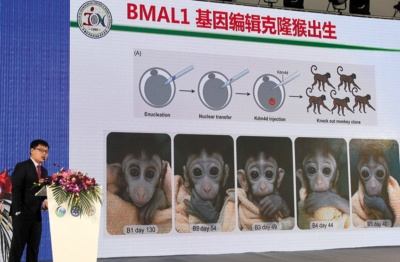 "<span class=""fontBold"">中国科学院の体内時計機能のない5匹のクローンサル作製には批判も</span>(写真=China News Service/Getty Images)"