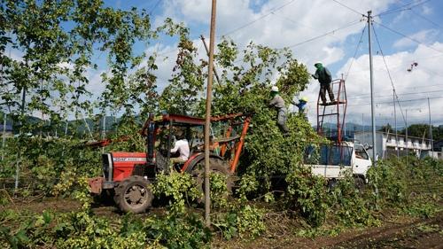 ホップの国内有数の産地、岩手県遠野市でのホップの収穫作業。多くの人手を要する。