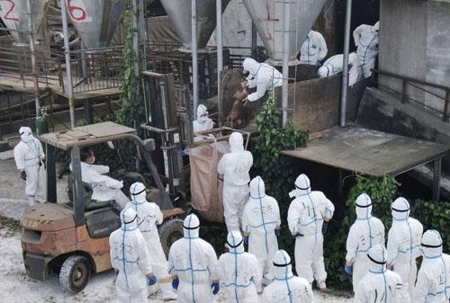 2018年以降、断続的に全国各地で発生する豚熱。写真は20年1月に感染が確認された沖縄県の養豚場(写真:共同通信)
