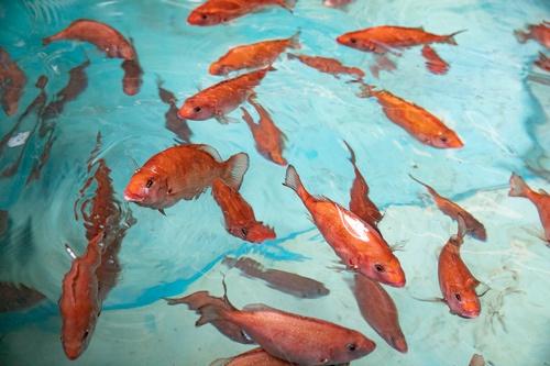 ゲノム編集マダイが泳ぐ水槽の様子。外海に出ないよう陸上養殖施設で育てる