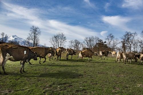 アビタニアジャージーファームでは、フリーストールと呼ばれる放し飼いスタイルで肥育している