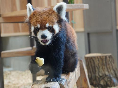 東山動植物園では4頭のレッサーパンダの一般公開が21年にスタートした(写真は公開された1頭のれいかちゃん)