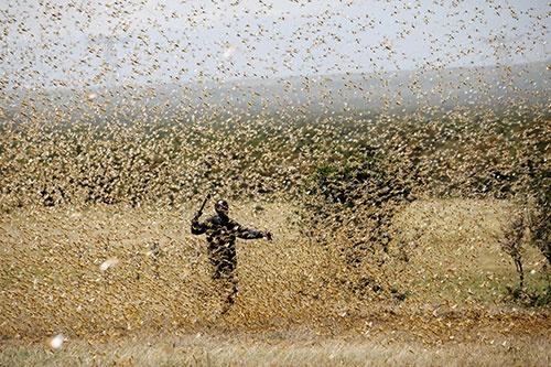 大量発生しているサバクトビバッタ(写真:ロイター/アフロ)