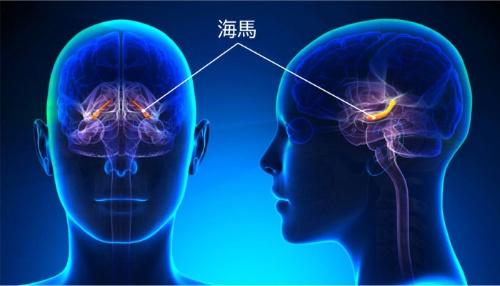 脳の神経細胞は大人になってからは新しく生まれることはないと考えられてきたが、少なくとも記憶をつかさどる「海馬」は何歳になっても神経細胞が新生していることが近年分かった(画像=123RF)