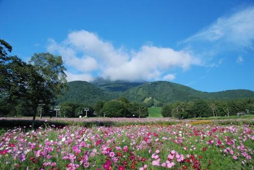 マックアースのスキー場では東日本の第1弾となる長野県の「黒姫高原スノーパーク」。夏はコスモス園「旬花咲く黒姫高原」を運営(写真)。今ではコスモスの名所として有名になった