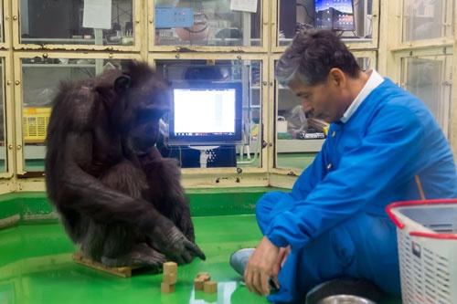 松沢氏と積み木遊びをするチンパンジーのアイ