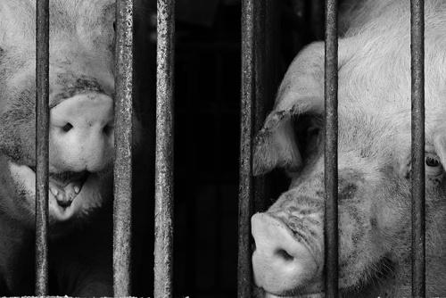 遼寧省瀋陽市にある養豚場で8月、最初のASF発生が疑われた(写真はイメージ)。