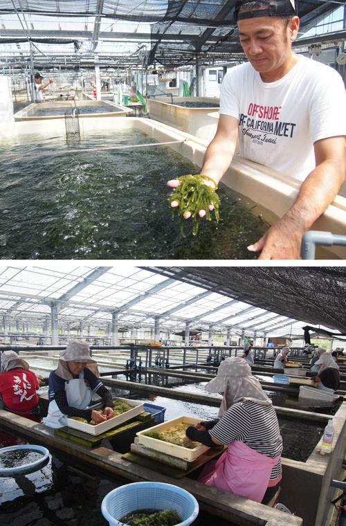 全国一の出荷量を誇る久米島の海ぶどう養殖所。広大な敷地に数多くのいけすが並ぶ