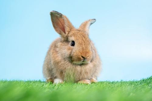 個人でも品種改良が可能な点も、ウサギの投機的価値を高めた(写真:PIXTA)