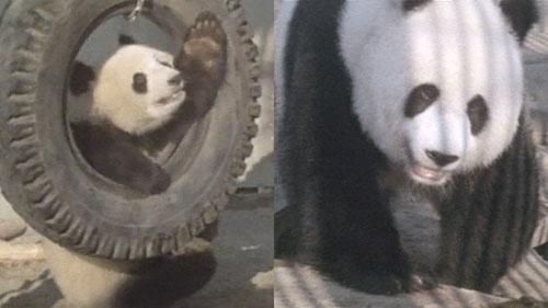 1972年11月5日、日本で初めて上野動物園で一般公開されたカンカンとランラン