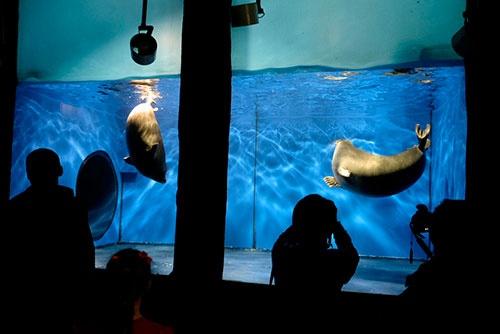 <b>バイカル湖博物館で見たバイカルアザラシ。丸々と太っているのは、寒さに耐えるためだろう</b>