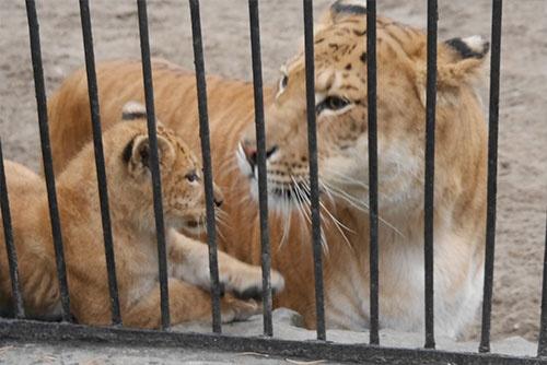 動物園で見たトラとライオンのハイブリッド(右)。背中の模様が中途半端なのが特徴か。左は、それとライオンとの子ども(撮影:二村 嘉美)