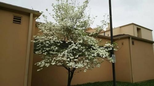 ドッグウッドの白い花が、あちこちに