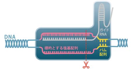 より正確に、より確実に遺伝子を改変<br /><span>●最新のゲノム編集に使われる人工酵素(クリスパー/キャス9)</span>