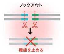 <b>DNAの任意の位置に切れ込みを入れることで、特定の遺伝子の機能を止める</b>
