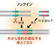 <b>外来の遺伝子を加えておけば、DNAの切断した位置に挿入(ノックイン)できる</b>