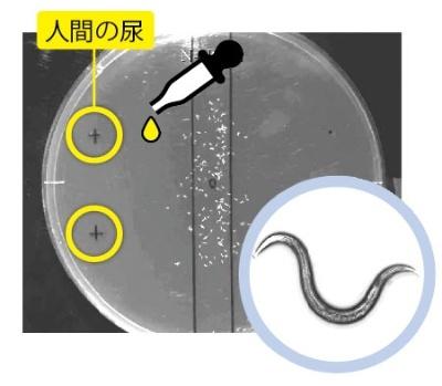 <b>体長1mm程度の線虫「シー・エレガンス」(右)をシャーレの中心に配置し、人間の尿を垂らして検査開始</b>