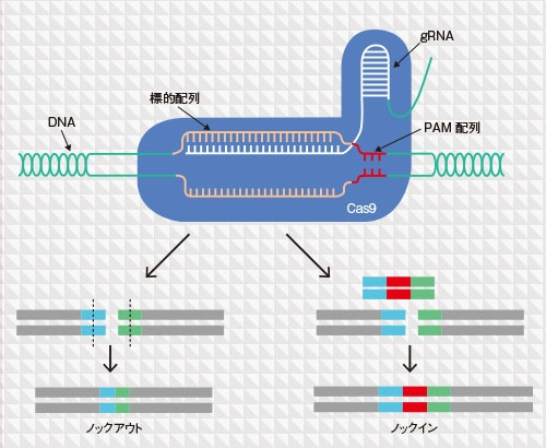 新技術5 ゲノム編集