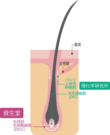 "<span class=""titll-b"">本人の細胞を取り出し、増やして戻す</span><br />●実用化に向け研究が進む毛髪再生の仕組み"