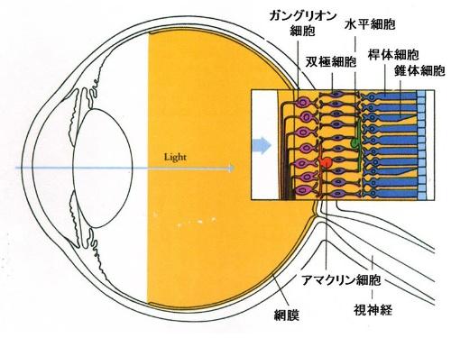 ヒトの目の断面図。右側の四角いイラストは網膜の拡大図だ。(画像提供:河村正二)(Hubel, D.H., Eye, Brain, and Vision. Scientific American Library, New York (1988)の37ページの図を改変)