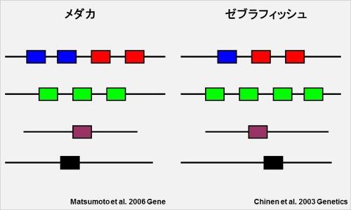 メダカとゼブラフィッシュのオプシンレパートリーの比較。4段に分かれているのは染色体ごとに示しているため(ただし、外国の研究者が見つけた追加の桿体オプシンは含まれていない)。(画像提供:河村正二)