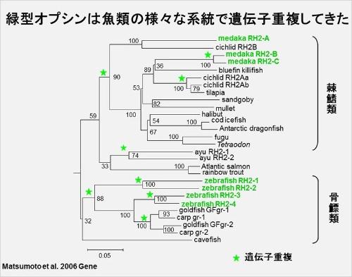 上のほうのグループがメダカで、下がゼブラフィッシュ。緑型オプシンの種類はそれぞれに枝分かれしてから増えたことが分かる。これは遺伝子が部分的に重複する「遺伝子重複」という現象による。(画像提供:河村正二)(Matsumoto, Y., Fukamachi, S., Mitani, H., & Kawamura, S. (2006). Functional characterization of visual opsin repertoire in Medaka (Oryzias latipes). Gene, 371 (2), 268-278.のFig. 5Bを改変)