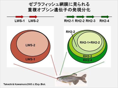 ゼブラフィッシュの赤型2種類と緑型4種類のオプシンが網膜のどこに出現しているかを示した図。(画像提供:河村正二)(Takechi, M., & Kawamura, S. (2005). Temporal and spatial changes in the expression pattern of multiple red and green subtype opsin genes during zebrafish development. The Journal of Experimental Biology, 208 (Pt 7), 1337-1345のFig. 6, Fig. 7から改変)