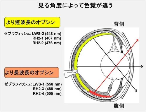 ゼブラフィッシュの眼球を縦に切ったときの断面図。上を見る網膜と下を見る部分でオプシンの吸収波長が微妙に異なる。(画像提供:河村正二)