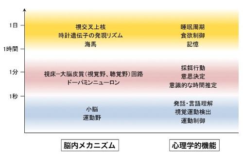 この図のように、ヒトが時間を知覚する方法は主に青、赤、黄色で色分けされた3つの時間帯により異なると考えられている。(画像提供:四本裕子)