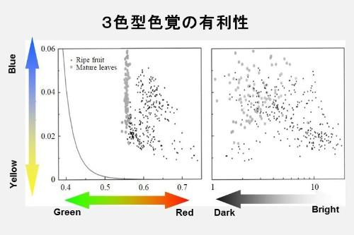 縦軸はどちらも「黄―青」色度。左右のグラフの横軸が異なる。左は「緑―赤」の色度、右が明度(明暗)。薄い灰色の点が葉、濃い黒の点が果実だ。(画像提供:河村正二)( Sumner, P., & Mollon, J.D. (2000). Catarrhine photopigments are optimized for detecting targets against a foliage background. The Journal of Experimental Biology, 203, 1963-1986のFig. 8の改変)