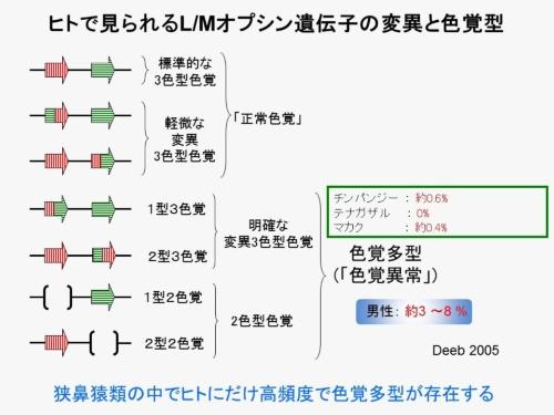 2~5段目にある赤と緑の2色を含む矢印が「ハイブリッド・オプシン」を表している。ハイブリッド・オプシンを持つヒトの割合は50%にのぼり、一般的な色覚検査では検出できない場合も多い。ヒトのオプシンには高い多様性があることが多くの研究から分かっている。(画像提供:河村正二)(文献は省略)