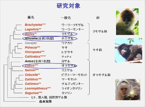 河村さんが研究しているクモザル、ホエザル、オマキザルたち。(画像提供:河村正二)