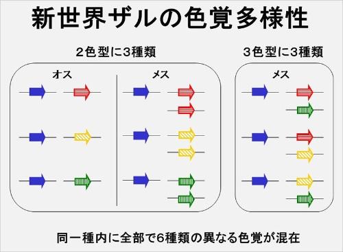 新世界ザルの色覚多型の仕組み。赤、緑、青の矢印はそれぞれ赤オプシン、緑オプシン、青オプシンで、黄色い矢印は赤と緑の中間的なオプシン。ヒトではX染色体に赤・緑の2つのオプシン遺伝子が重複しているのに対して、新世界ザルでは1つしかない。(画像提供:河村正二)