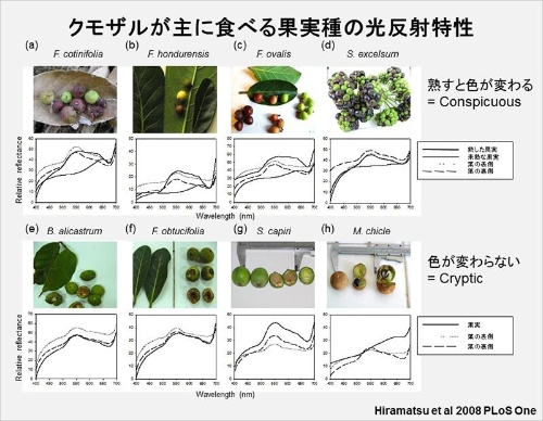 サルのオプシンがどの波長を見やすいかがわかっているので、果実や葉っぱが反射する光の波長を測定すれば、サルにとっての見え方がわかる。(画像提供:河村正二)(Hiramatsu, C., Melin, A.D., Aureli, F., Schaffner, C.M., Vorobyev, M., Matsumoto, Y., & Kawamura, S. (2008). Importance of achromatic contrast in short-range fruit foraging of primates. PLoS ONE, 3 (10), e3356のFigure 2を改変)