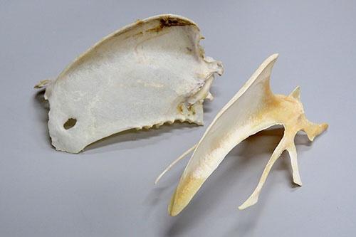 トビの胸骨(左)とニワトリの胸骨(右)。ニワトリの胸骨は板のようではなく枝状になっている。(写真提供:川上和人)