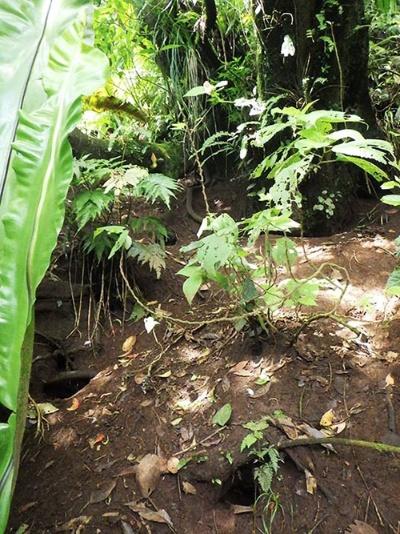 ミズナギドリがいる南硫黄島の森。(写真提供:川上和人)