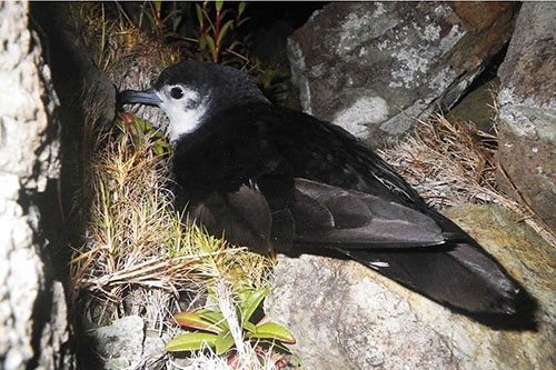 絶滅していると考えられていたオガサワラヒメミズナギドリ。おとなの体長は30センチほど。川上さんらが2012年に再発見した。そのくだりは『鳥類学者だからって、鳥が好きだと思うなよ。』に詳しい。(写真提供:川上和人)