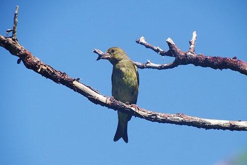 オガサワラカワラヒワ。ほぼスズメぐらいの大きさの鳥。(写真提供:川上和人)