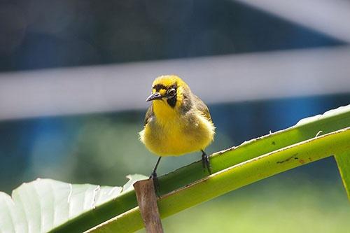小笠原の固有種メグロ。「鳥類学者川上和人」の出発点となった鳥だ。(写真提供:川上和人)