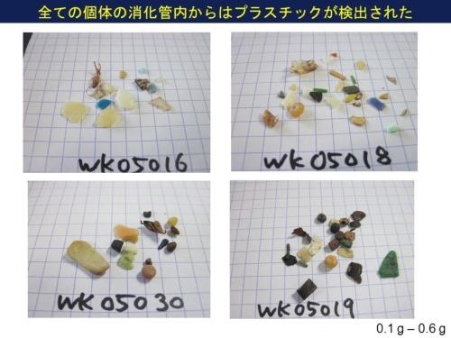 ベーリング海のハシボソミズナギドリを調べたところ、12個体のすべての消化管から0.1~0.6グラムのプラスチックが検出された。(画像提供:高田秀重)