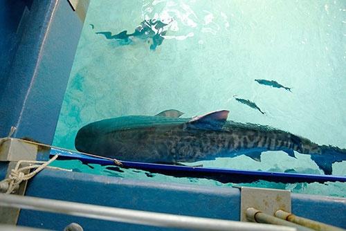 こちらはイタチザメ。若い頃はトラ柄模様があることから英語では「タイガー・シャーク」と呼ばれる。バックヤードで「危険ザメの海」を上から撮影。