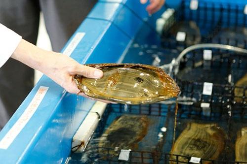 トラフザメの卵。指で押すとベゴベゴする。