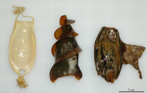 左から、ナヌカザメ、ネコザメ、イヌザメの卵殻。(写真提供:佐藤圭一)