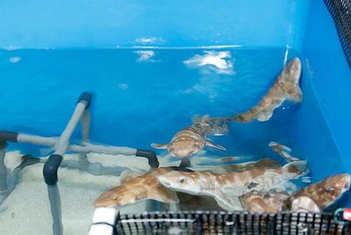 こちらはバックヤードで飼育中のトラザメ。成魚でも最大50センチほどと小柄で愛嬌のある顔立ちをしている。