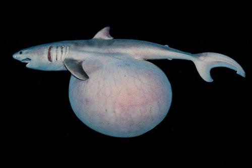 栄養卵を食べてお腹が膨れたホホジロザメの胎仔。(写真提供:佐藤圭一)