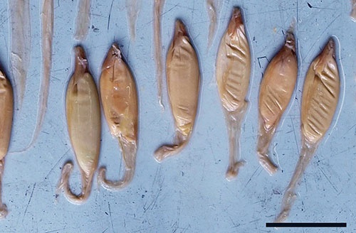 ホホジロザメの栄養卵のカプセル。(写真提供:佐藤圭一)