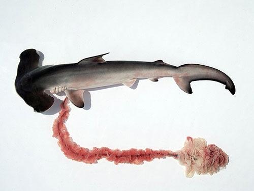 シュモクザメの胎仔。ヘソの緒の先端にあるまとまった部分が胎盤。サメの胎盤は胎仔の組織からできて母親とつながる。(写真提供:佐藤圭一)