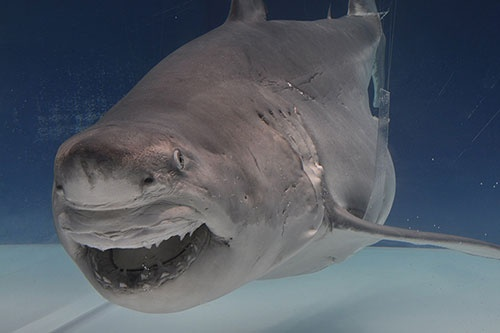 佐藤さんが作成したホホジロザメの標本。サメの代名詞ともいえるカリスマ的な種だ。この標本は国立科学博物館の「海のハンター展」で展示される。(写真提供:日本経済新聞社)