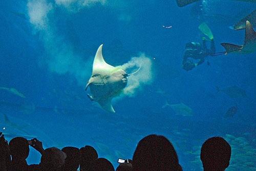 沖縄美ら海水族館の出産直後のマンタ。本当に白い!(写真提供:佐藤圭一)